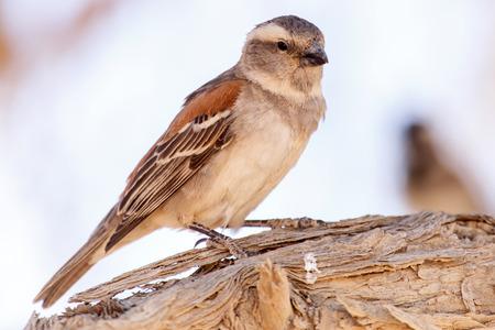 sociable: Femmina Socievole tessitore Uccello a Sossusvlei nel deserto del Namib, Namibia, Africa