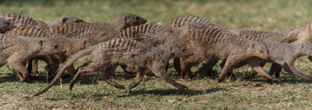 mongoose: Banded Mongoose at Etosha National Park in Nambia, Africa Stock Photo