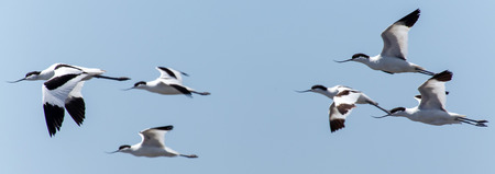 avocet: Pied Avocet Bird at Walvis Bay Lagoon in Namibia, Africa