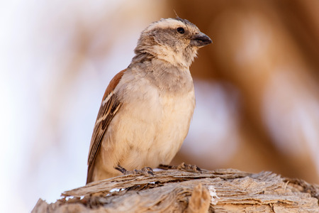 weaver bird: Female Sociable Weaver Bird at Sossusvlei in the Namib Desert, Namibia, Africa