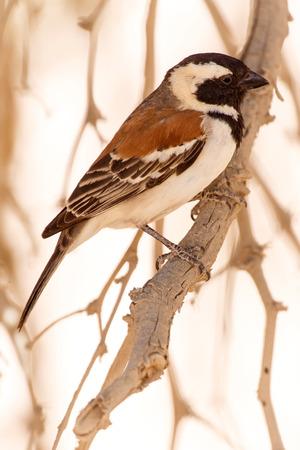 sociable: Maschio socievole tessitore uccello a Sossusvlei nel deserto del Namib, Namibia, Africa Archivio Fotografico