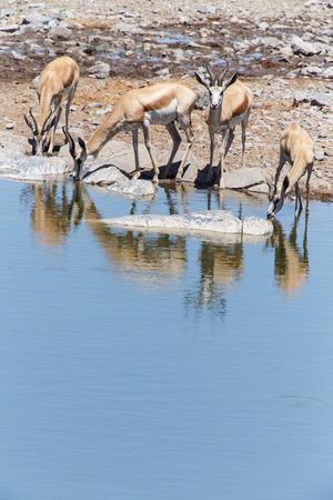 springbok: Springbok Antelope at Etosha National Park in Nambia, Africa