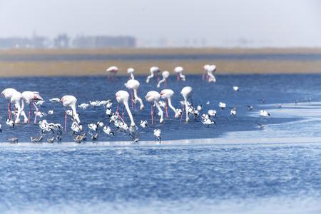 flamenco ave: Flamingo Bird en Walvis Bay  Swakopmund, Namibia, �frica