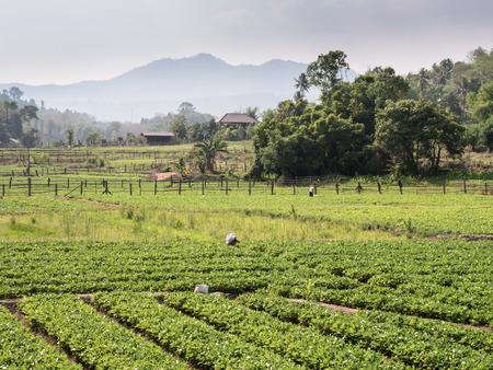 sap: Soy Bean Field in Mae Sap, Northern Thailand