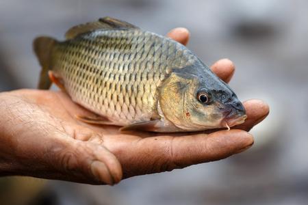 freshwater fish: A freshly caught freshwater fish in Chin Stae, Myanmar (Burma)