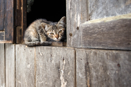 chin: Cute kitten in Falam Town , Chin State, Western Myanmar (Burma)