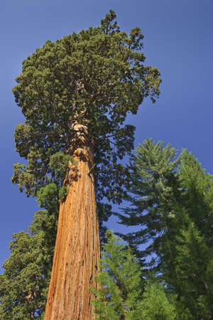 Giant redwood trees in Sequoia National Park, CA.  Vertically framed shot. photo