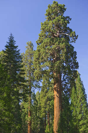 huge tree: Giant redwood trees in Sequoia National Park, CA Stock Photo
