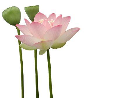 Lotus Flower Stock Photo - 2383164