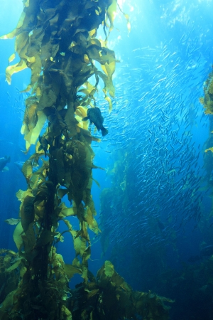 seetang: Giant Kelp im blauen Wasser des Aquariums