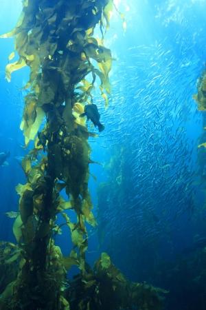 alga marina: Gigante de algas marinas en las aguas azules del acuario
