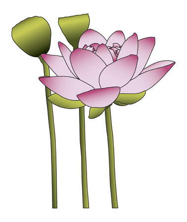 waterlilies: Large pink lotus flower on white background