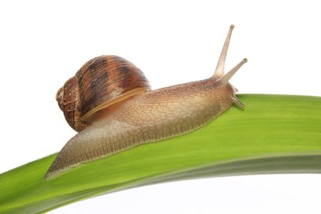 Common garden snail on a green leaf
