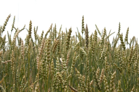 Green field of growing wheat on farm Stock Photo