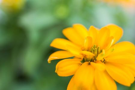 黄色矮星百日草の開花