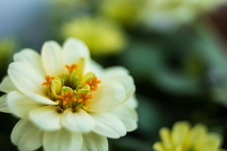 咲く白色矮星ジニア