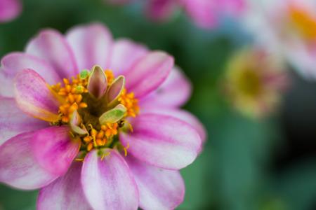 ピンクの小人百日草の開花