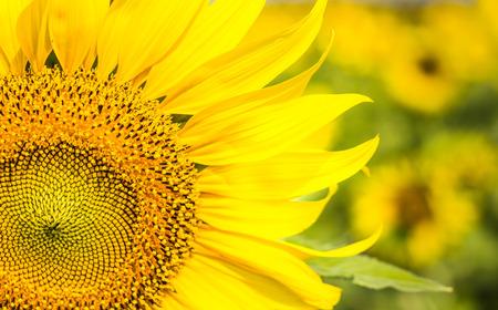 Close up sunflower photo