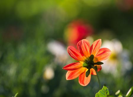 太陽光で燃えるようなオレンジ色の花 写真素材