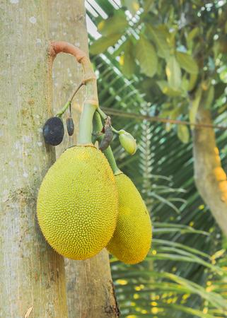 木にぶら下がっている 2 つの中型 jackfruits
