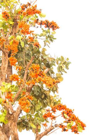 ろくでなしのチークの木または白で隔離 Butea います。