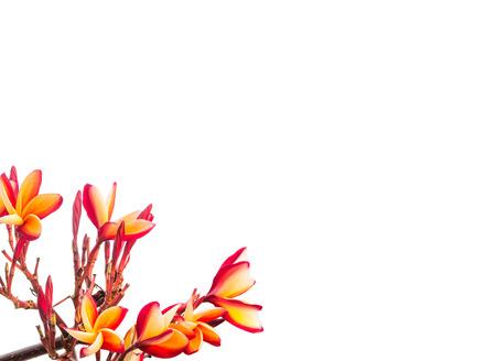 咲くプルメリア白背景に分離 写真素材