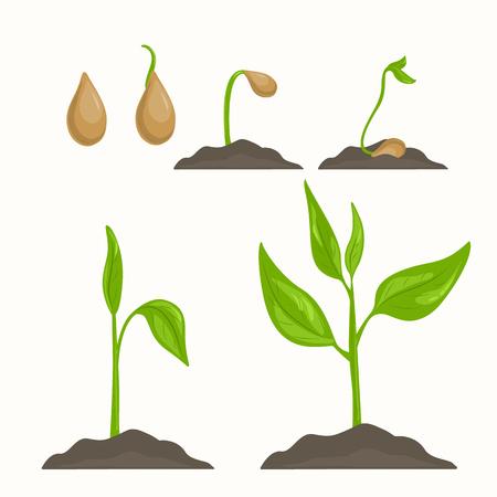 Ciclo di vita di evoluzione piante dal seme al germoglio verde. Fasi di crescita vegetale.