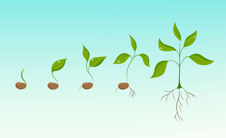 germination: Plant growth evolution from bean seed to sprout to sapling. Phases of greenery germination and cultivation. New life and organic food concept illustration. Isolated elements on sky blue background.