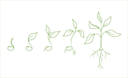 Kidney bean plant growth phases. Evolution from seed to sapling. Set of isolated outline vector drawings on white background. Agriculture and organic food concept illustration. Illustration