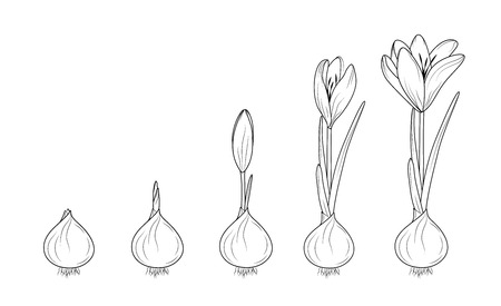 Crocus germination from corm bulb to sprouts to flower. Life cycle phases evolution. Isolated black outline sketch on white background. Flowering plant growth concept vector design illustration. Stock Illustratie