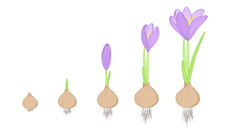 Crocus flower evolution germination life cycle stages. Growth concept from corm bulb to plant. Purple, green, brown isolated on white background. Detailed vector design illustration. Vettoriali