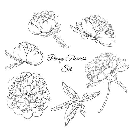 Peony rose flowers shrub vector design illustration reusable isolated elements template set. Bloom blossom, stem, bud, leaves. Detailed black and white outline sketch botanical drawing composition. Illustration