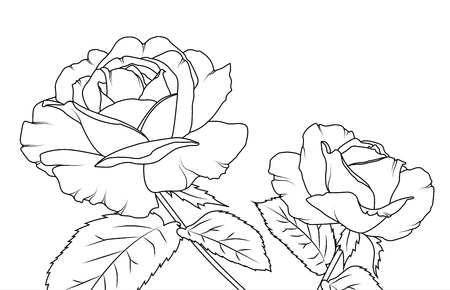 preset: Rose flowers draft sketch outline hand drawing. Bloom, blossom, stem, leaves. Isolated black and white vector design illustration. Stock Photo