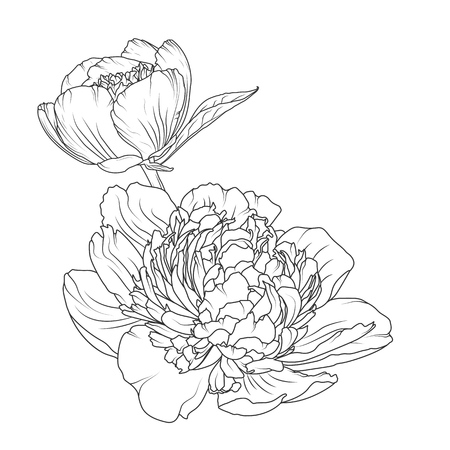 Peony rose blooming garden flowers detailed outline sketch drawing. Botanical vector design illustration. Black and white hand drawn isolated design element. Close up macro view.