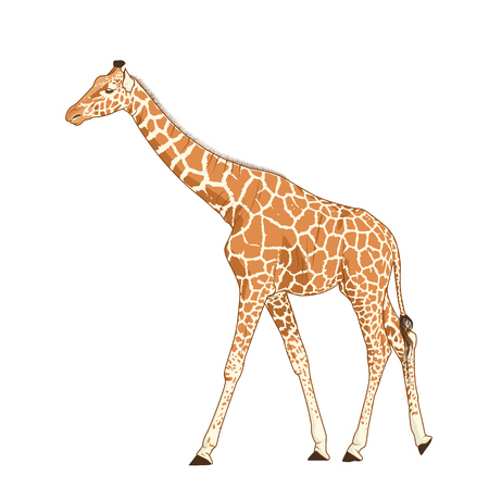 Giraffe adult exotic mammal realistic detailed drawing. African savanna animal with long neck and legs. Camelopardalis with spotted pattern fur coat. Standing walking stretching posture. Stock Photo
