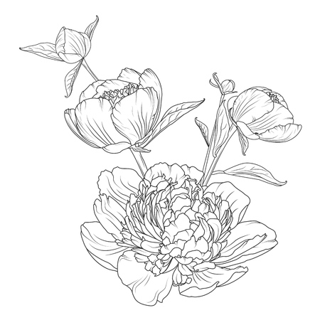 rose tattoo: Peony rose flowers bouquet composition on a white background.