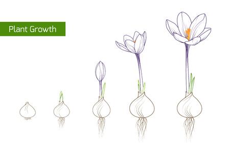 Illustrazione di progettazione di vettore di concetto di crescita della pianta del fiore. Germinazione del croco dalla lampadina del corm a germogli per fiorire.