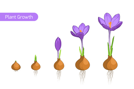 Flower plant growth concept vector design illustration. Crocus germination from corm bulb to sprouts to flower. Life cycle phases evolution. Isolated purple violet flowers on white background.