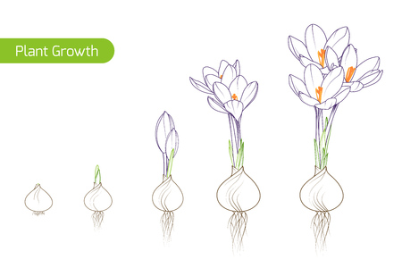 Spring crocus flower growth germination evolution phases from bulb to sprouts to plant. Floriculture holticulture process concept illustration. Outline sketch drawing green purple. White background. Illustration