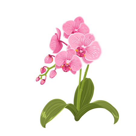 Elegant gentle pink purple orchid phalaenopsis exotic tropical flower inflorescence isolated on white background.