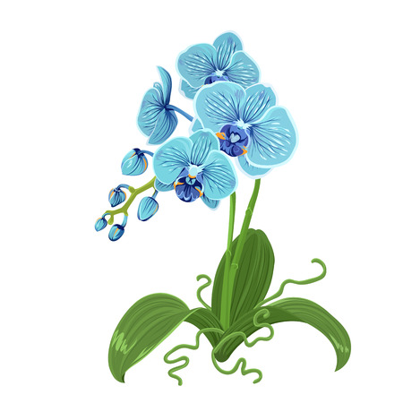 Elegant gentle blue orchid phalaenopsis exotic tropical flower inflorescence, isolated on white background. Buds, stem, roots green leaves. Detailed realistic vector design illustration. Sign symbol.