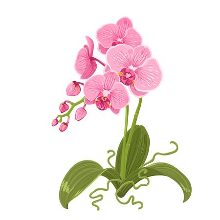 Inflorescencia de flores tropicales exóticas Phalaenopsis orquídea rosa púrpura aislada sobre fondo blanco. Planta con flores con brotes, tallo, raíces, hojas verdes. Ilustración de diseño vectorial realista detallada.