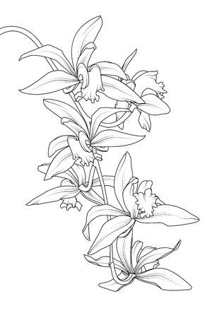 Exotic tropical cattleya orchid flower plant. Botanical realistic detailed black white line drawing sketch. Beautiful floral isolated vector design element. Epiphytic terrestrial orchid rhizome.