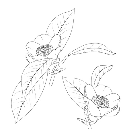 Japanese camelia flower with stem and leaves black ink line drawing on white background. Isolated botanical floral vector illustration. Detailed realistic sketch design element. Ilustracja