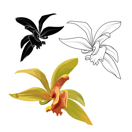 Cattleya orchid phalaenopsis cambria isolated flower collection set. Botanical floral vector design illustration. Detailed realistic drawing. Bright orange green. Black white outline sketch.