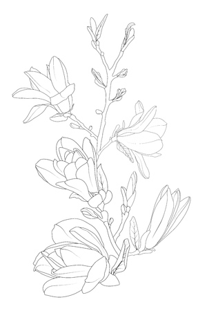 Magnolia flowers bloom blossom tree branch. Line art isolated black white drawing. Botanical vector design element. Outline sketch. Spring summer oreintal floral illustration.