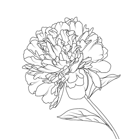 Peony flower head petals stem leaves isolated single object element. Detailed outline sketch drawing. Botanical vector design illustration. Black line on white background. Ilustrace