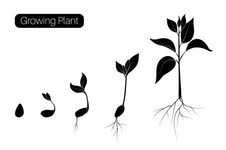 Infografik zu Pflanzenwachstumsphasen. Evolutionskeimungsfortschrittskonzept. Samen, Bohne, Sprössling, Baum, der organische Landwirtschaft anbaut. Flache Vektorillustration. Isoliertes Schwarz auf weißem Hintergrund.