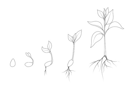 Kidney bean plant growth phases. Evolution from seed to sapling. Set of isolated outline vector drawings on white background. Agriculture and organic food concept illustration. Vettoriali