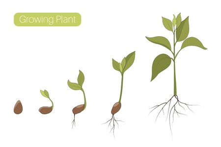 Plant growth phases stages flat vector illustration. Evolution germination progress concept. Seed, bean, sprout, tree growing organic agriculture. Isolated green brown on white background.